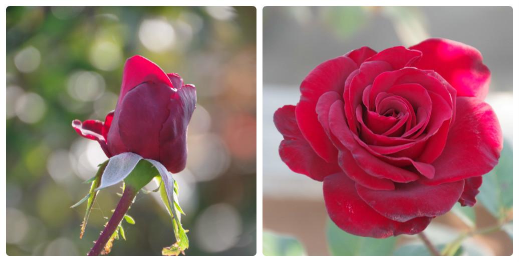 秋薔薇が細々と咲く小さなローズガーデン_b0356401_04451783.jpg