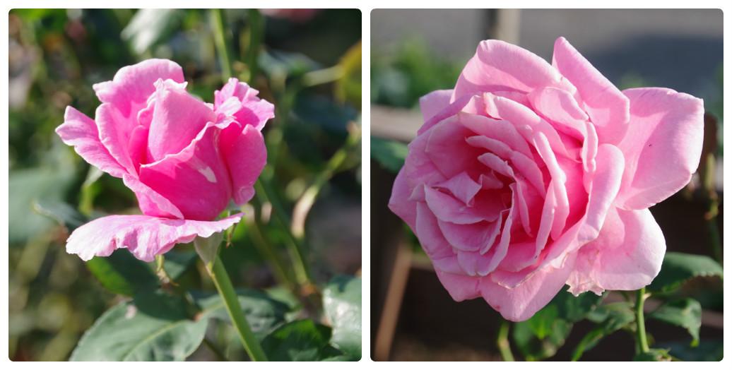 秋薔薇が細々と咲く小さなローズガーデン_b0356401_04452542.jpg