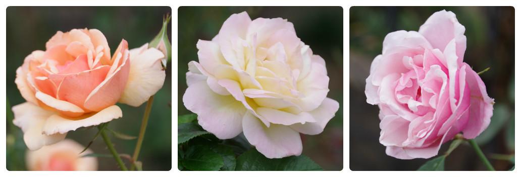 秋薔薇が細々と咲く小さなローズガーデン_b0356401_04454322.jpg