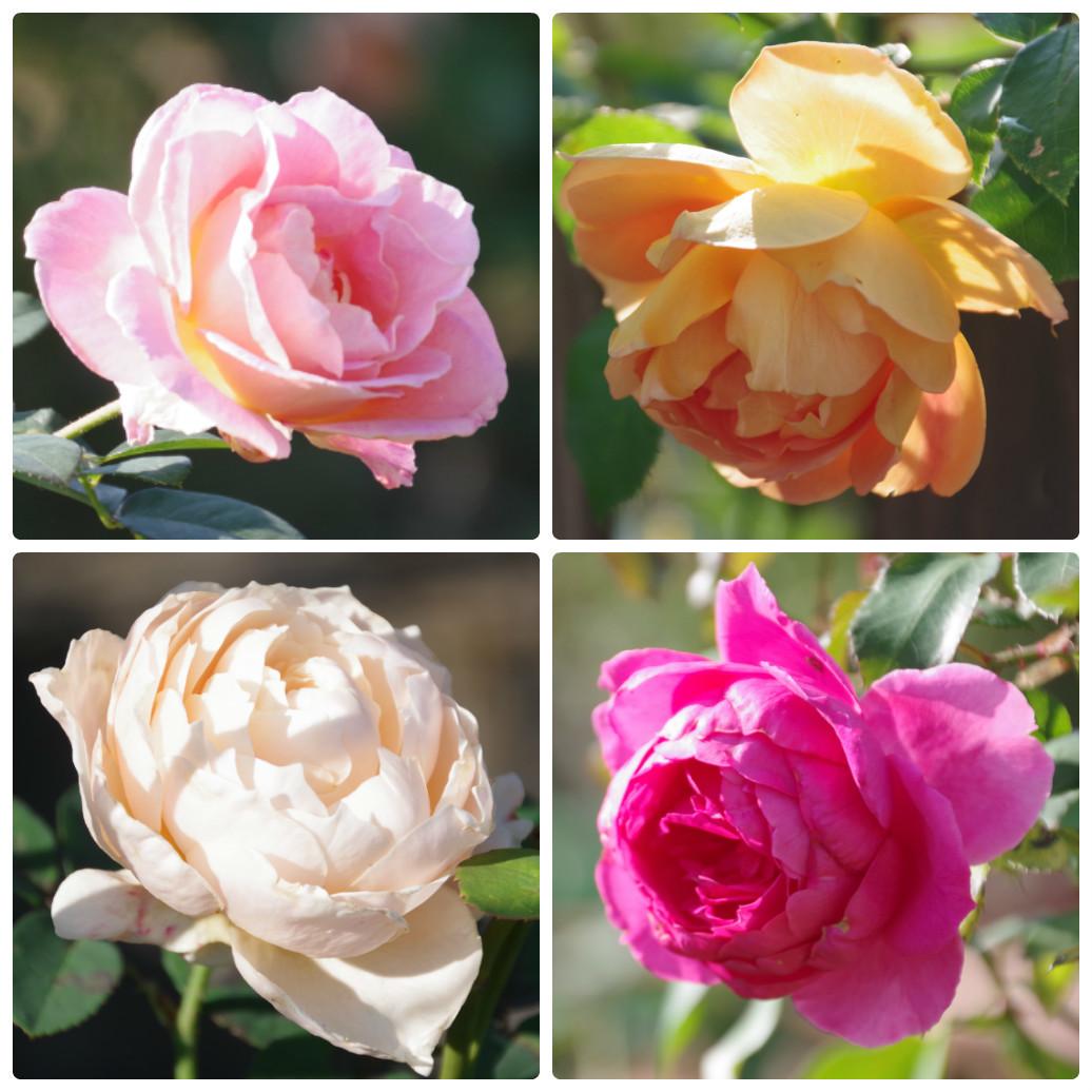 秋薔薇が細々と咲く小さなローズガーデン_b0356401_04454949.jpg