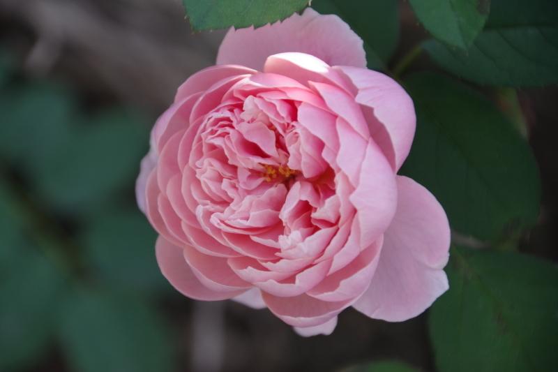 秋薔薇が細々と咲く小さなローズガーデン_b0356401_04460443.jpg