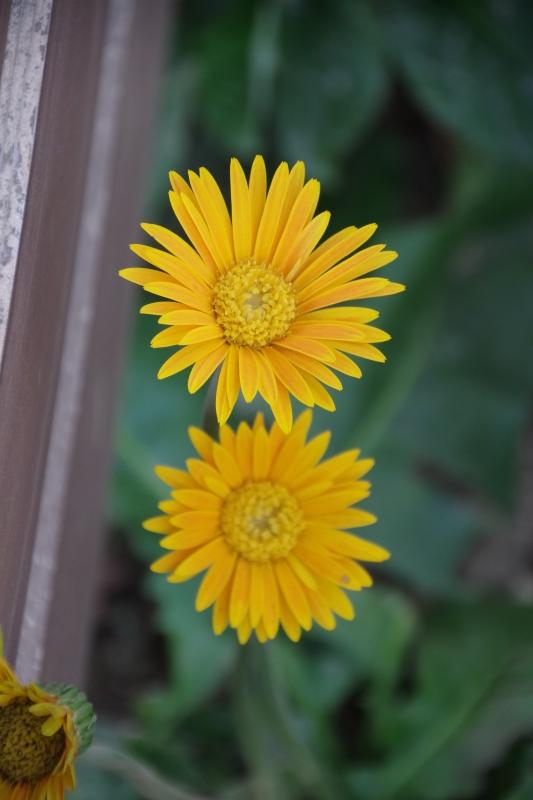 秋薔薇が細々と咲く小さなローズガーデン_b0356401_04464120.jpg