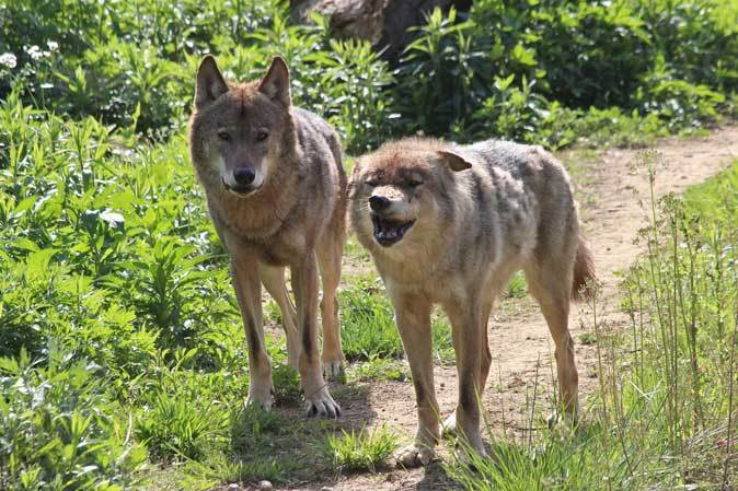 4月のオオカミたち~ロイ&チロ_b0355317_21471681.jpg