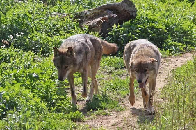 4月のオオカミたち~ロイ&チロ_b0355317_21513035.jpg