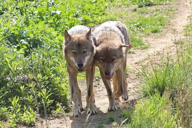 4月のオオカミたち~ロイ&チロ_b0355317_21532631.jpg
