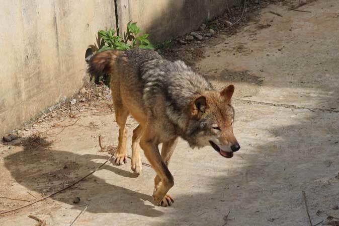 4月のオオカミたち~ロイ&チロ_b0355317_22004126.jpg