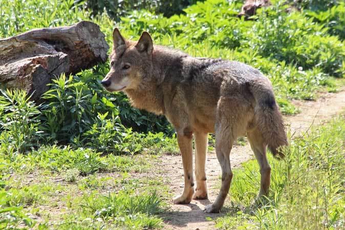 4月のオオカミたち~ロイ&チロ_b0355317_22005730.jpg