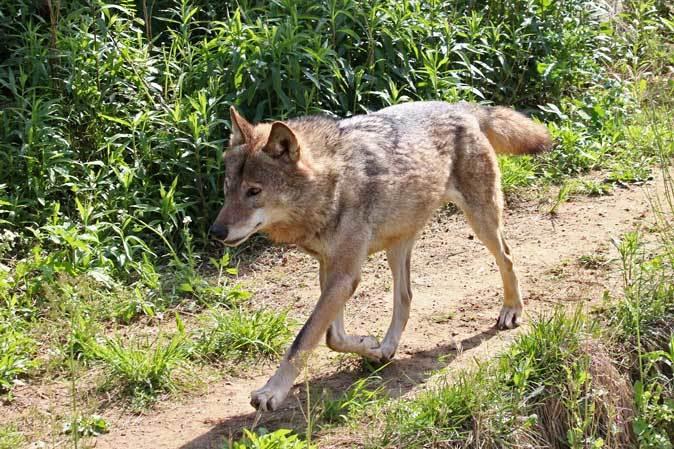 4月のオオカミたち~ロイ&チロ_b0355317_22030010.jpg