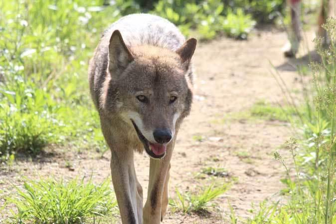 4月のオオカミたち~ロイ&チロ_b0355317_22045684.jpg