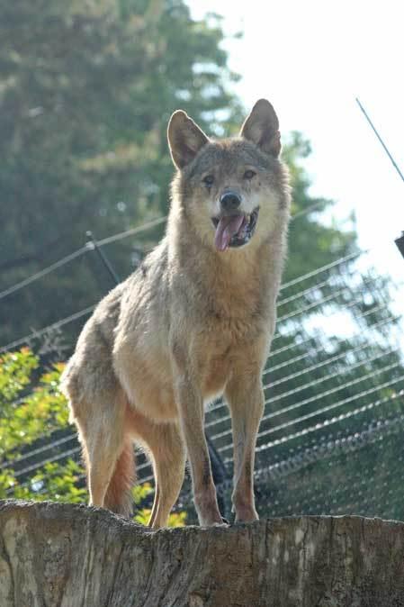 4月のオオカミたち~ロイ&チロ_b0355317_22084271.jpg