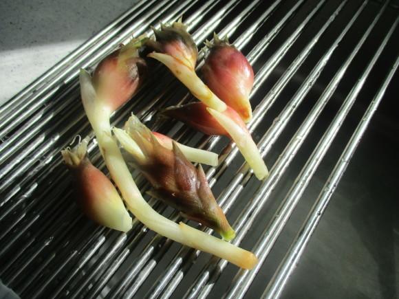 初めて収穫した茗荷と豚汁_a0279743_08111174.jpg