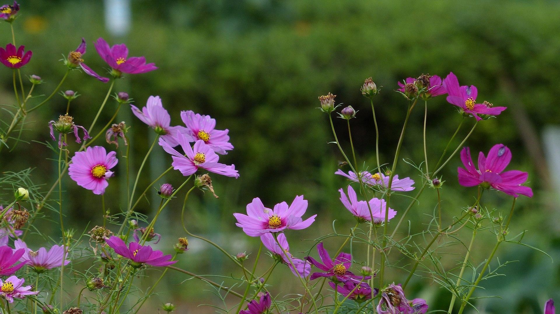 秋桜に恋してる_a0185081_11361044.jpg