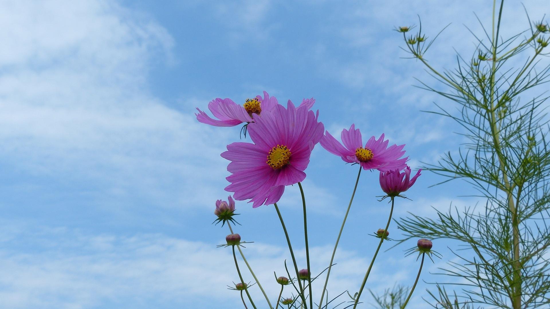 秋桜に恋してる_a0185081_11365592.jpg