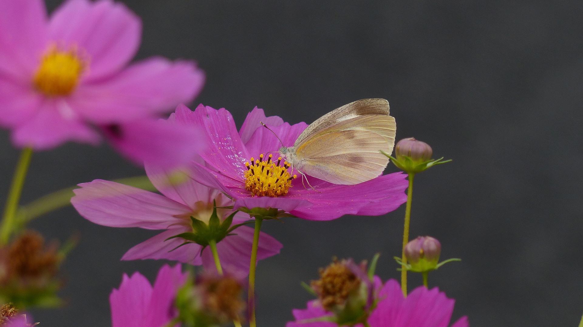 秋桜に恋してる_a0185081_11375642.jpg