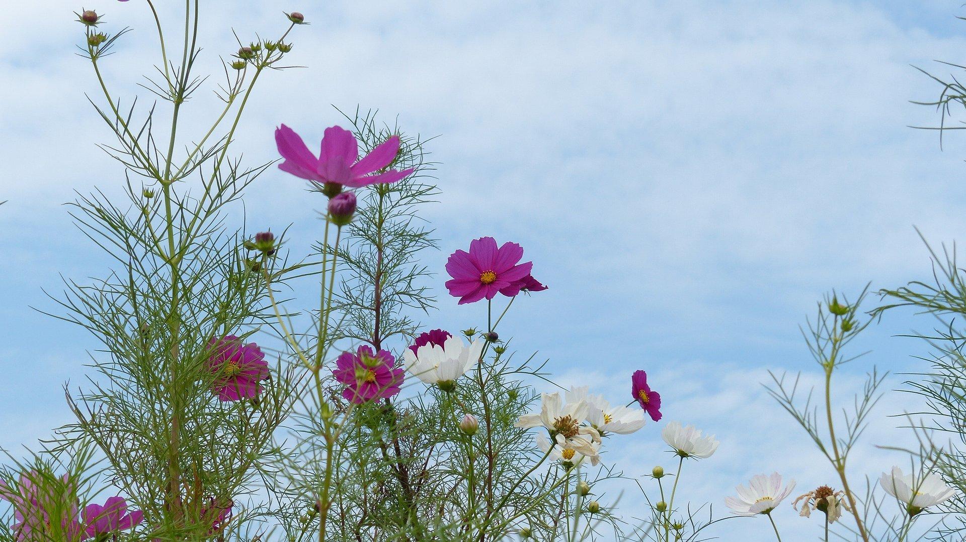 秋桜に恋してる_a0185081_11392120.jpg