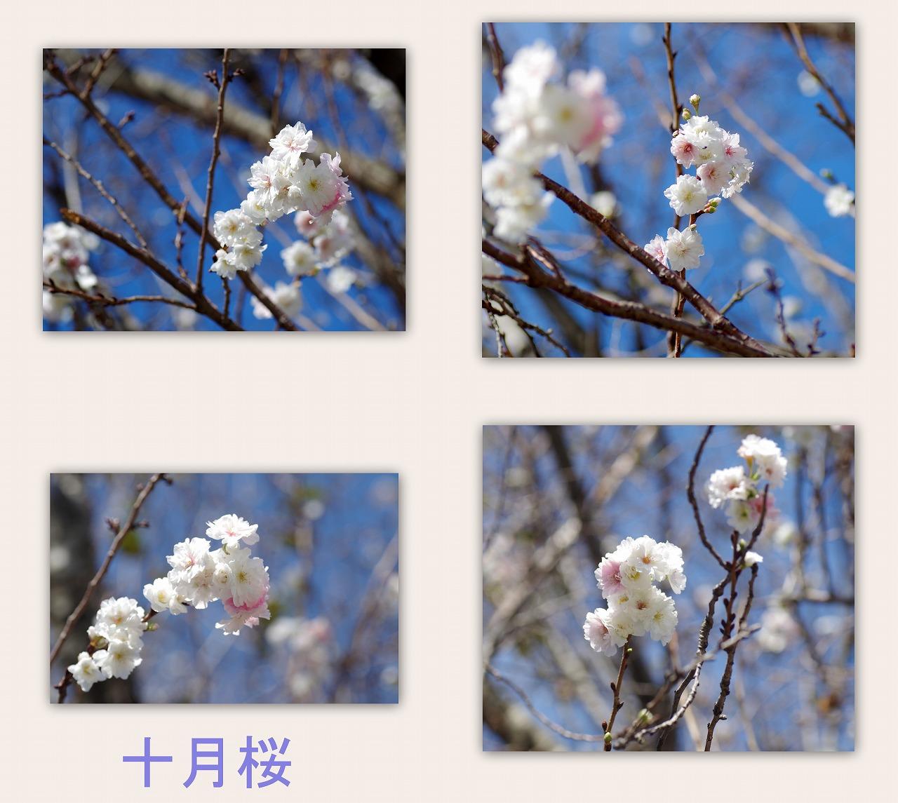 十月桜(じゅうがつざくら)_d0147812_15353630.jpg