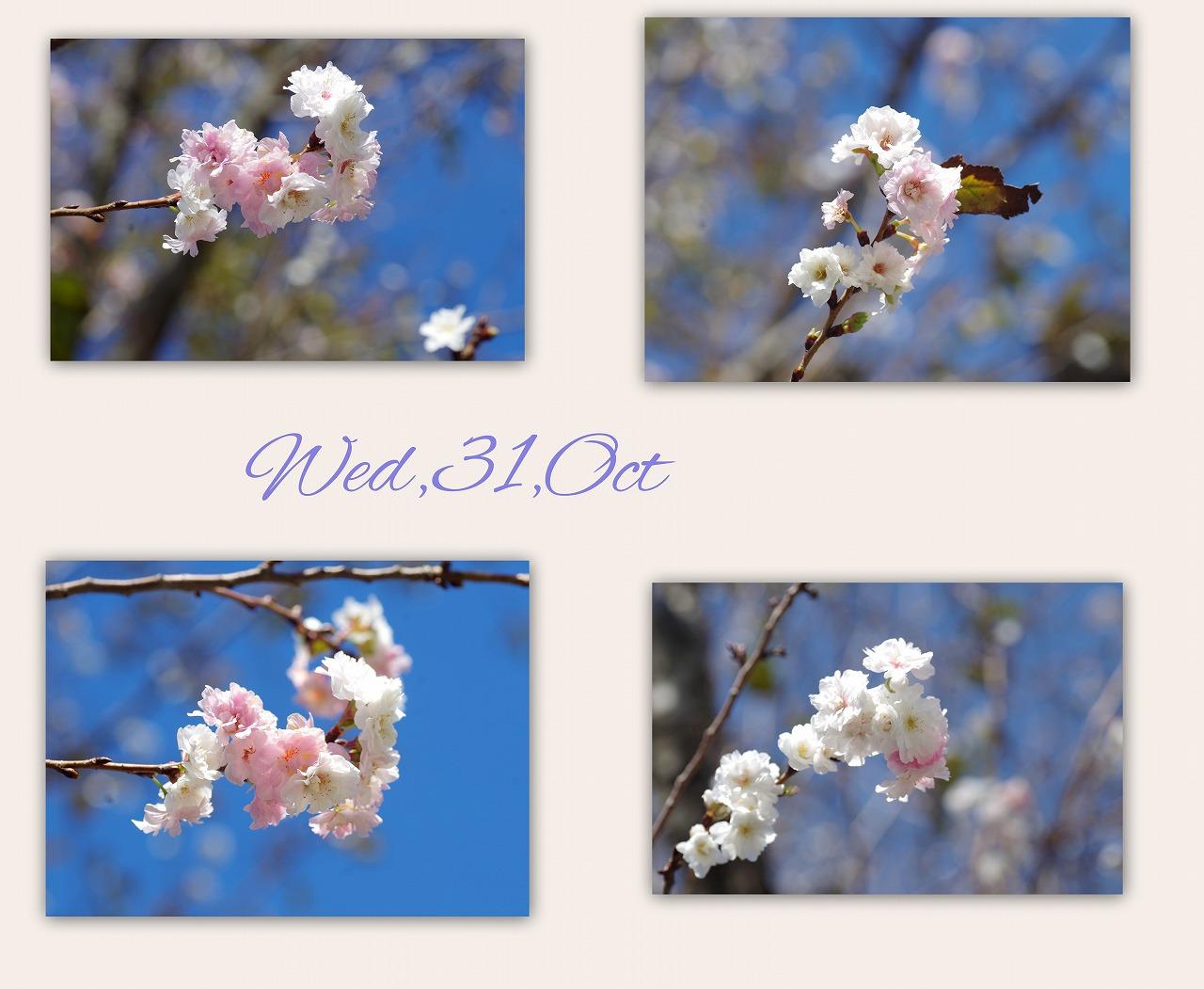 十月桜(じゅうがつざくら)_d0147812_15354695.jpg