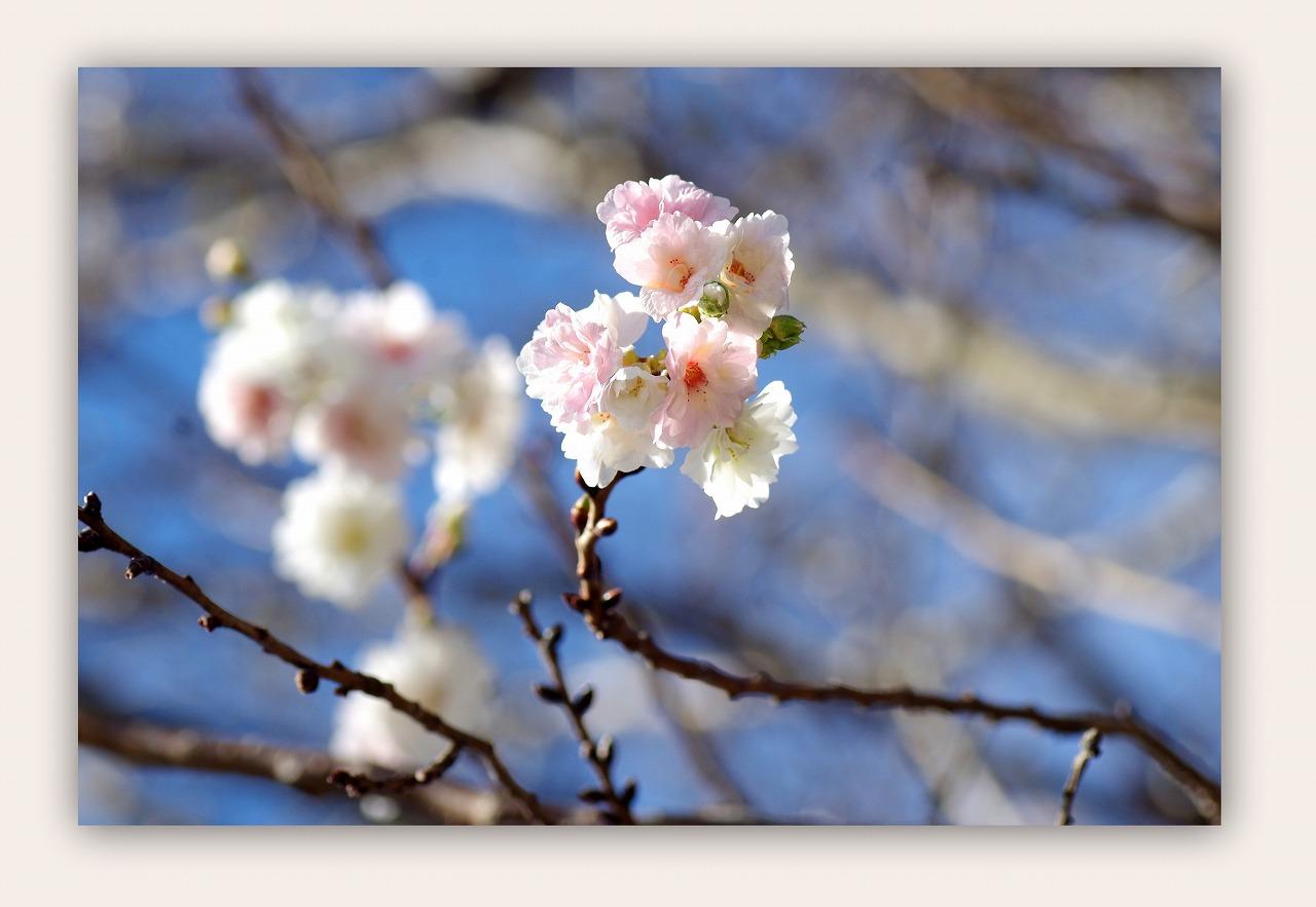 十月桜(じゅうがつざくら)_d0147812_1536109.jpg