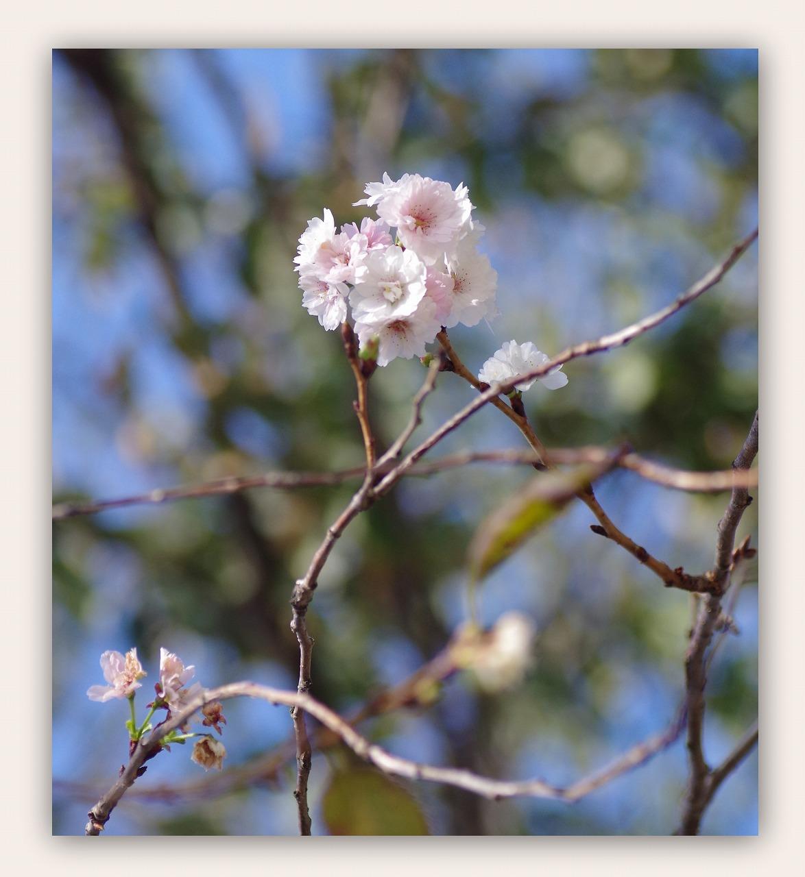 十月桜(じゅうがつざくら)_d0147812_1536198.jpg
