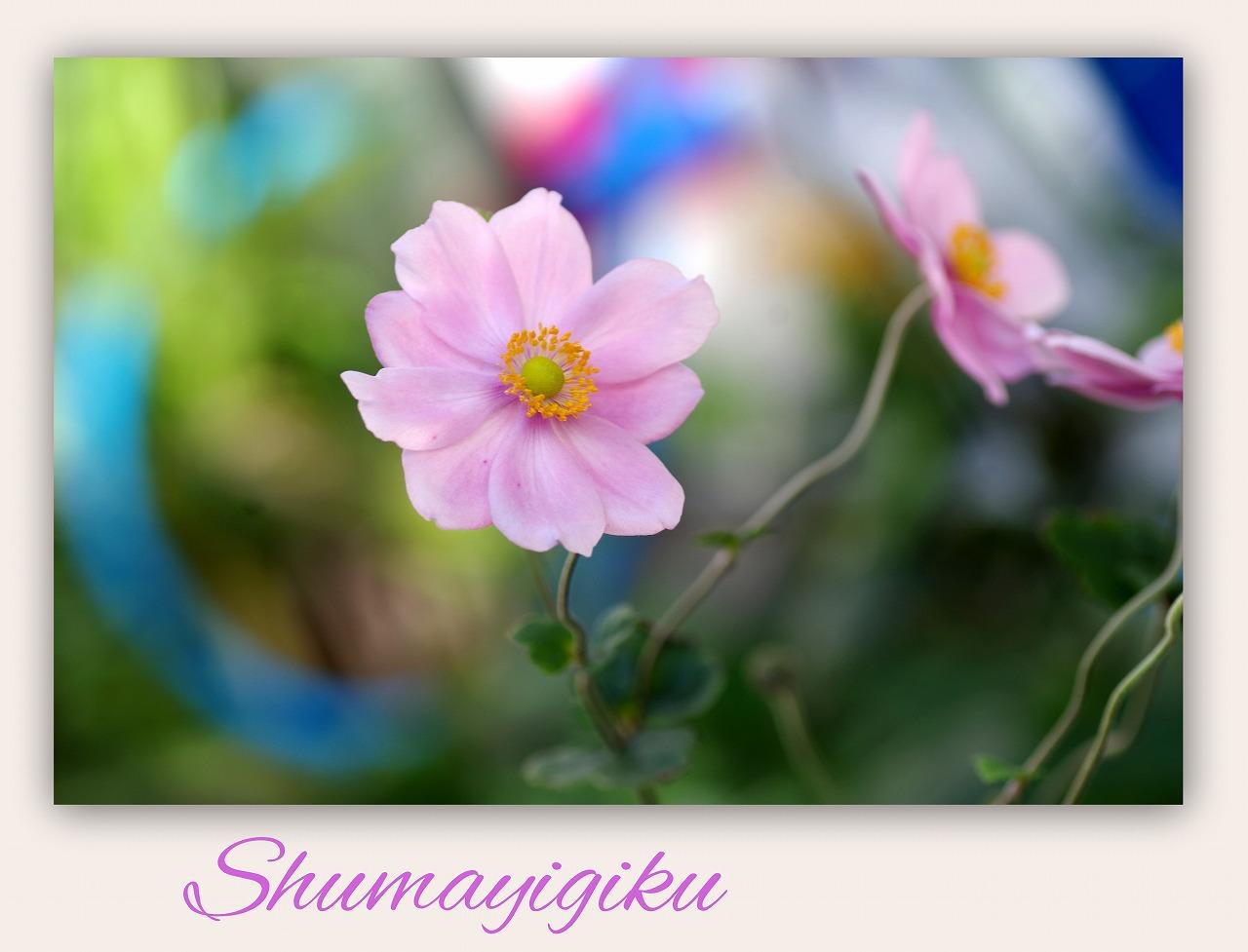 十月桜(じゅうがつざくら)_d0147812_1543787.jpg