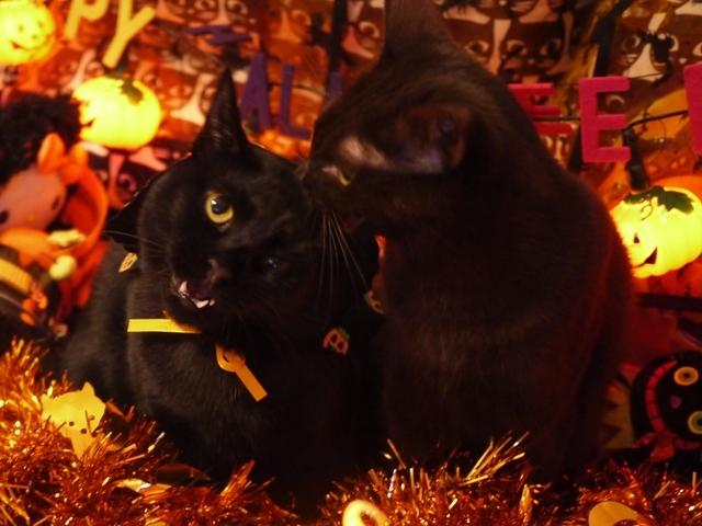 ハロウィン猫 あんしゃぁりぃめりぃぽぴんず編。_a0143140_17070723.jpg