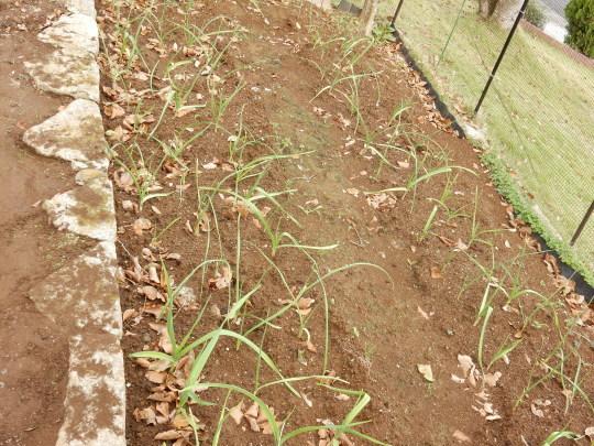'18,11,1(木)ハロウィーンと玉ねぎの苗植え!_f0060461_18595551.jpg