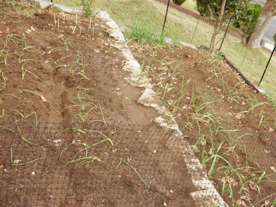 '18,11,1(木)ハロウィーンと玉ねぎの苗植え!_f0060461_19010788.jpg
