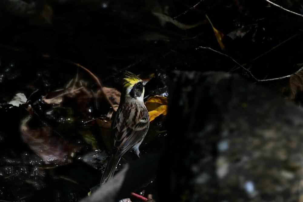 冬鳥が〜 ミヤマホオジロ アトリ アカハラ キビタキ_f0053272_22412069.jpg