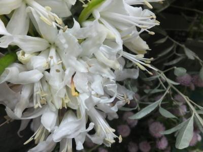 オークリーフ(パパメイアンの香り)_f0049672_18432462.jpg