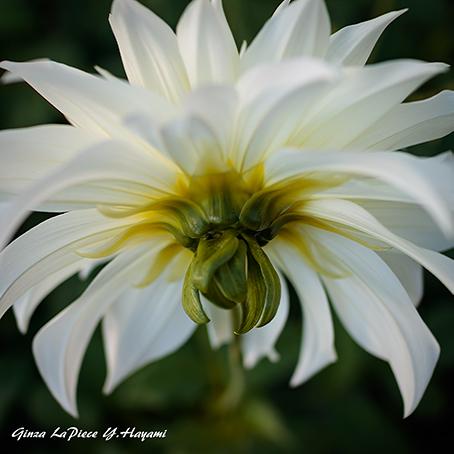 花のある風景 ダリアの裏_b0133053_00090390.jpg