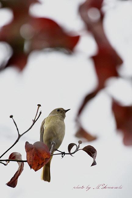 秋色ジョウビタキ_c0217255_15181071.jpg