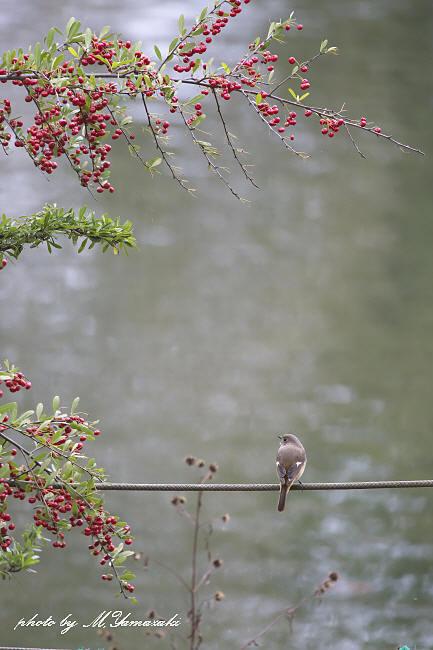 秋色ジョウビタキ_c0217255_15181565.jpg