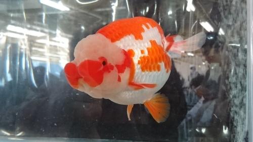 さいたま養殖魚まつり(2018秋)-品評会編_b0298605_18213444.jpg