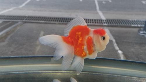 さいたま養殖魚まつり(2018秋)-品評会編_b0298605_18270517.jpg