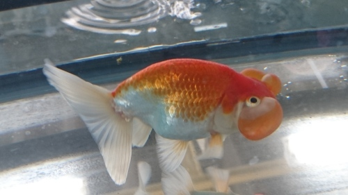 さいたま養殖魚まつり(2018秋)-品評会編_b0298605_18290338.jpg