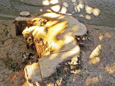 大径木の伐採_f0045132_08534717.jpg