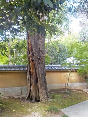 大径木の伐採_f0045132_08534785.jpg