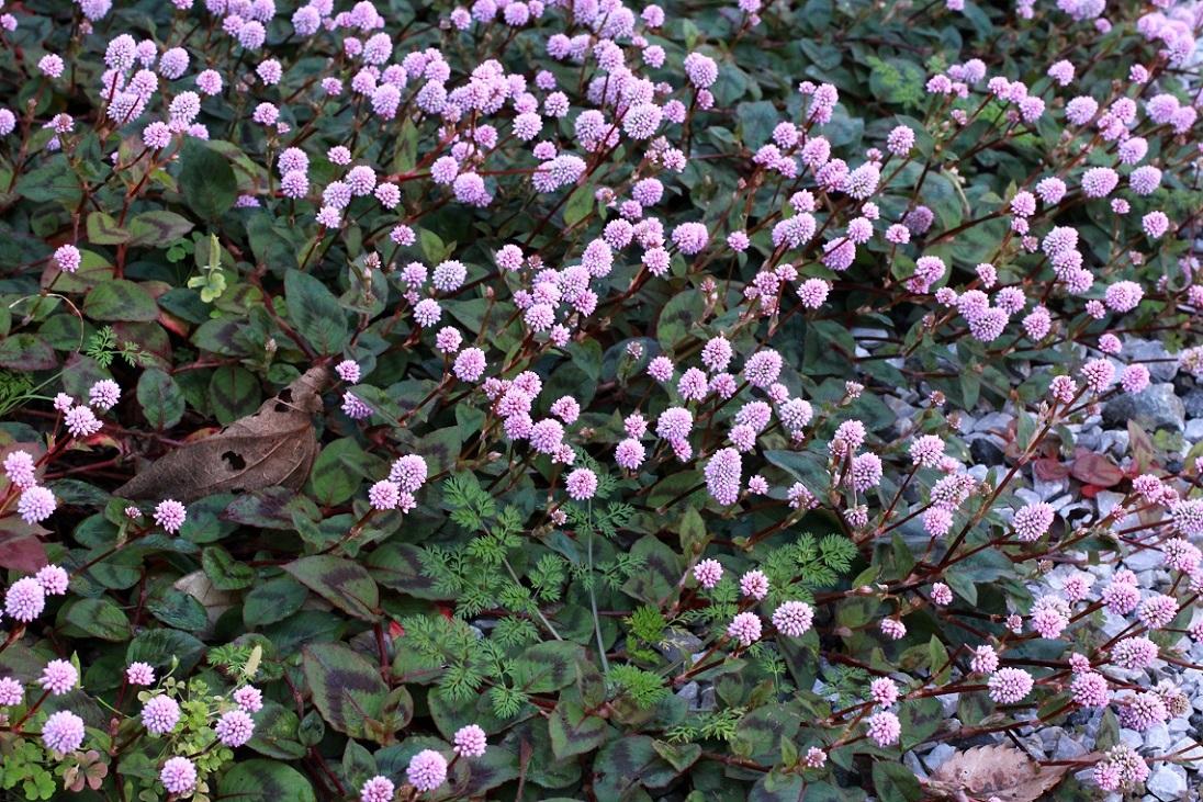 金平糖のような花を付けるヒメツルソバ_a0107574_16534922.jpg