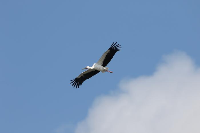 コウノトリ 青空の上空を飛ぶ_f0239515_13574738.jpg