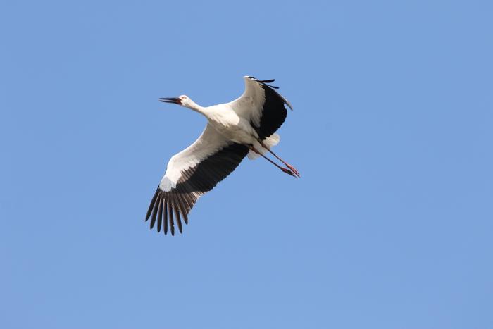 コウノトリ 青空の上空を飛ぶ_f0239515_1422634.jpg