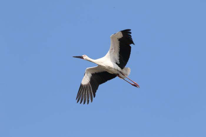 コウノトリ 青空の上空を飛ぶ_f0239515_143161.jpg