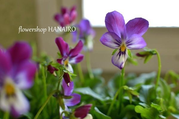 多彩な花色も魅力的♪冬を彩る「パンジー・ビオラ」。_e0375748_16030188.jpg