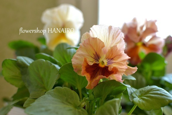 多彩な花色も魅力的♪冬を彩る「パンジー・ビオラ」。_e0375748_16031011.jpg