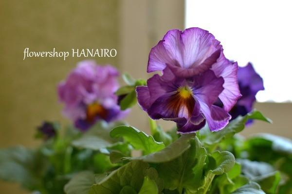 多彩な花色も魅力的♪冬を彩る「パンジー・ビオラ」。_e0375748_16031804.jpg