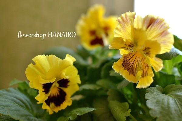 多彩な花色も魅力的♪冬を彩る「パンジー・ビオラ」。_e0375748_16032700.jpg