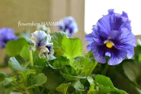 多彩な花色も魅力的♪冬を彩る「パンジー・ビオラ」。_e0375748_16034349.jpg