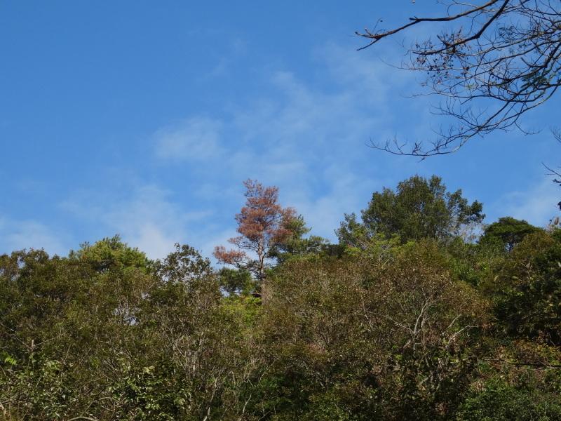 枯れ松 大木の伐採準備・・・孝子の森_c0108460_17550881.jpg
