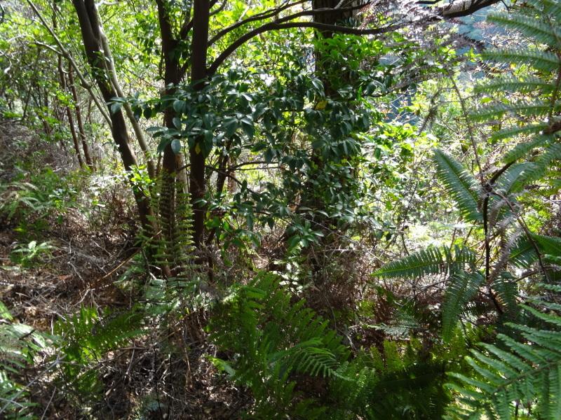 枯れ松 大木の伐採準備・・・孝子の森_c0108460_18043200.jpg
