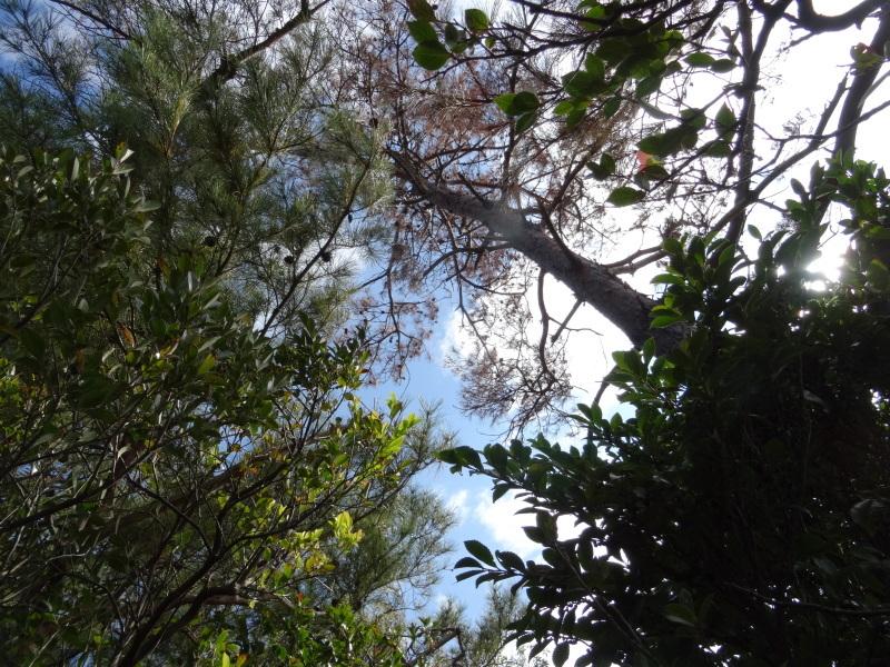枯れ松 大木の伐採準備・・・孝子の森_c0108460_18043322.jpg