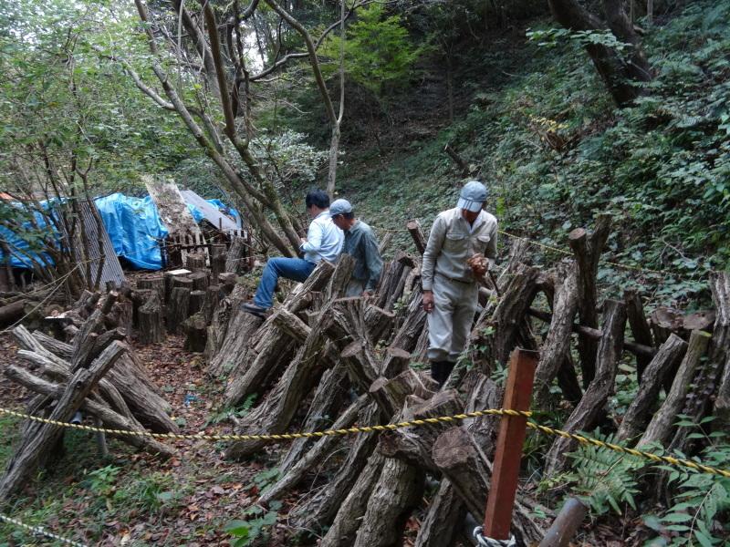 枯れ松 大木の伐採準備・・・孝子の森_c0108460_18075832.jpg